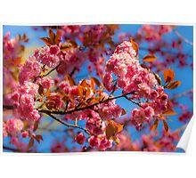 Chinese cherry in bloom Poster