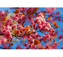 Chinese cherry in bloom Photographic Print