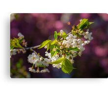 Cherry in bloom Canvas Print