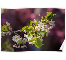 Cherry in bloom Poster