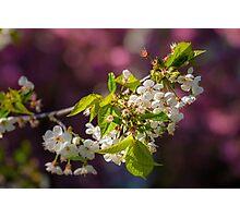 Cherry in bloom Photographic Print