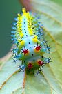 Cecropia close-up by jimmy hoffman