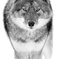 Coyote in Black and White Sticker