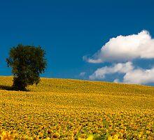 sunflowers field by giulio giuliani