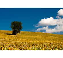 sunflowers field Photographic Print