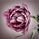 Peony Tulip by OpalFire