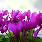 cyclamen - purple profusion by Jan Stead JEMproductions