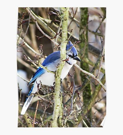 The Birds - sly blue jay (2011) Poster