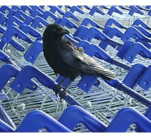 firm purchase (crow with shopping trolleys) Photographic Print