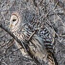 Barred Owl In A Tree by Deb Fedeler