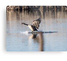 Canada Goose Water Landing Metal Print