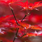 red leaves of maple by spetenfia