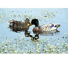 Romantic Ducks Photographic Print