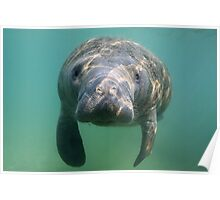 Manatee 3 Poster