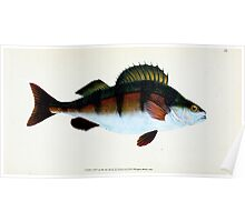 The Natural History of British Fishes Edward Donovan 1802 010 Poster