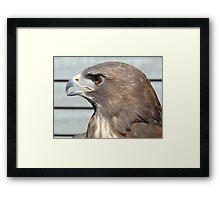 Melanistic Red Tailed Hawk Framed Print