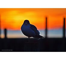 Eye Contact With An Young Seagull At Dawn   Sayville, New York Photographic Print