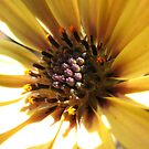 Sunny and Serene - Beautiful African Daisy Centre by kathrynsgallery