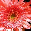 Gerbera flower at the Market by EdsMum