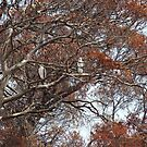 2 sea eagles in the burnt trees at Arthur River by gaylene