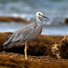 White Faced Heron by annibels