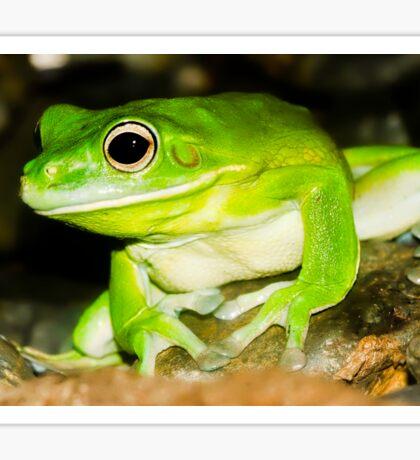 White lipped Tree Frog Sticker