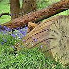 Blue Bells and Tree Stump by relayer51