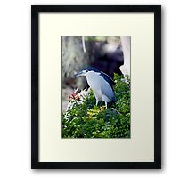 Black-crowned night heron Framed Print