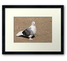homing pigeon Framed Print