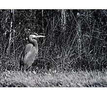 Heron, Hunting Photographic Print