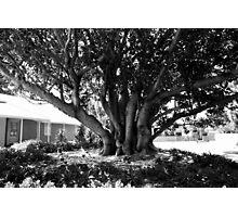 Moreton Bay Fig Photographic Print