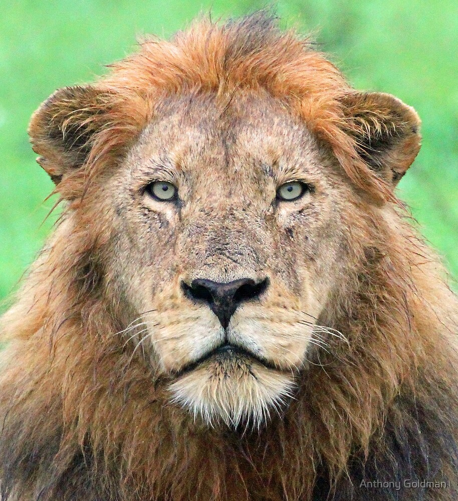 A real lion of the wild! by jozi1