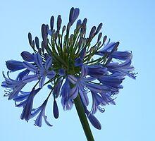 Blue Agapanthus by Robyn Williams