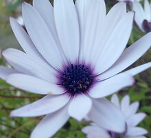 White Osteospermum Flower Daisy With Purple Hue by taiche