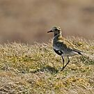 Golden Plover by EvilTwin