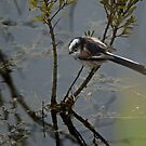 Long-tailed Tit by EvilTwin