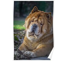 Cute chow dog portrait Poster