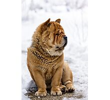 Winter chow dog portrait Photographic Print