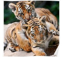 BABY TIGERS Poster