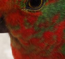 Young King Parrot Sticker