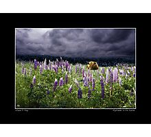 Highlander in the Lupine Poster Photographic Print