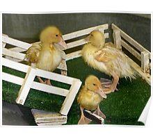 Diving Ducks Poster
