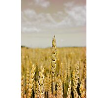Golden wheat Photographic Print
