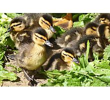 How Cute Are These Beautiful Little Ducklings Photographic Print
