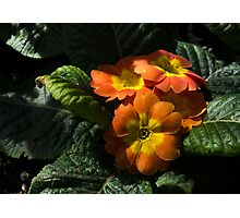 Spotlight on Spring Primula Blooms Photographic Print