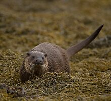 European Otter  by Jon Lees