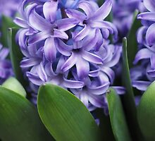 Hyacinth Food of Thy Soul by Karen E Camilleri