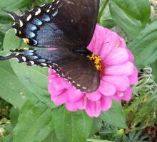 Butterfly on Zinnias Sticker