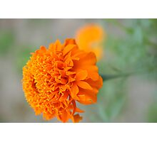 Chrysanthemum flowers Photographic Print