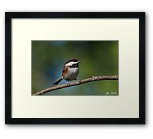 Chestnut Backed Chickadee Perched on a Branch Framed Print